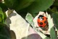 [ナナホシテントウ][テントウムシ科][てんとうむし]ナナホシテントウ