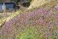 [ホトケノザ][仏の座][土手][畦道][紫色の花]ホトケノザ
