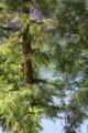 [スギ林][杉][湖畔][ダム湖][大桁湖]スギ林
