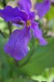 [オオアラセイトウ][アブラナ科][紫花菜][ショカツサイ]オオアラセイトウ