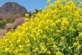 [菜の花][山麓][山里][山村][金鶏山]菜の花
