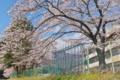 [桜][サクラ][小学校][新学期][フェンス]桜