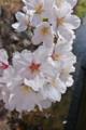 [桜][サクラ][桜並木][通学路][新年度]桜