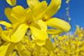 [レンギョウ][モクセイ科][ゴールデンベル][黄色い花]レンギョウ