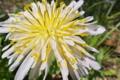 [シロバナタンポポ][キク科][畦道][農道][白い花]シロバナタンポポ