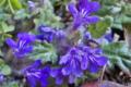 [キランソウ][地獄の釜の蓋][シソ科][ロゼット][青紫の花]キランソウ