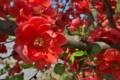 [木瓜][ボケ][バラ科][赤い花]木瓜