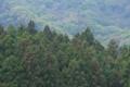 [スギ林][スギ][杉][林業][植林地]スギ林