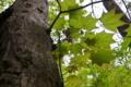 [イタヤカエデ][カエデ科][森の中][若葉][新緑]イタヤカエデ