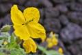 [クサノオウ][ケシ科][石垣][黄色い花]クサノオウ