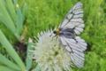 [ウスバシロチョウ][アゲハチョウ科][白い蝶][ネギ畑]ウスバシロチョウ