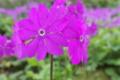 [サクラソウ][サクラソウ科][桜草][庭先][ピンク色の花]サクラソウ