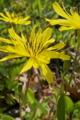 [オオジシバリ][キク科][田園][畦道][黄色い花]オオジシバリ