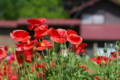 [ポピー][ケシ科][花畑][赤い花]ポピー