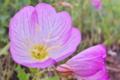 [ヒルザキツキミソウ][アカバナ科][ピンク色の花]モモイロヒルザキツキミソウ