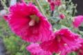 [タチアオイ][アオイ科][立葵][ホリホック][ピンク色の花]タチアオイ