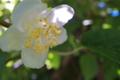 [マタタビ][マタタビ科][木天蓼][白い花][白い葉]マタタビ