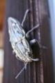 [ウバタマムシ][タマムシ科][玉虫]ウバタマムシ