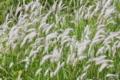 [チガヤ][イネ科][白い穂][草原][原っぱ]チガヤ