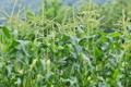 [トウモロコシ畑][とうもろこし][富岡市]トウモロコシ畑