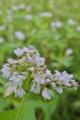 [ソバ畑][蕎麦][夏ソバ][タデ科][白い花]ソバ畑