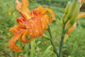[ヤブカンゾウ][ユリ科][ワスレグサ属][八重咲き][オレンジ色の花]ヤブカンゾウ