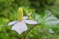 [ドクダミ][ドクダミ科][多年草][白い花][どくだみ茶]ドクダミ