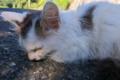 [猫][子ネコ][ネコ][昼寝]猫