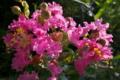 [サルスベリ][ミソハギ科][ピンク色の花][猿滑]サルスベリ