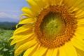 [ヒマワリ畑][ひまわり][向日葵][キク科][夏]ヒマワリ畑