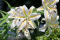 [ヤマユリ][ユリ科][白い花][夏の花]ヤマユリ