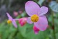 [シュウカイドウ][シュウカイドウ科][日陰][ピンク色の花][ベゴニア]シュウカイドウ