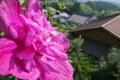 [ムクゲ][アオイ科][山村][集落][ピンク色の花]ムクゲ