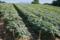 コンニャク畑