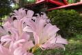 [ナツズイセン][ヒガンバナ科][ピンクの花][古寺]ナツズイセン