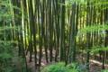 [竹やぶ][竹林][竹薮][孟宗竹][モウソウチク]竹やぶ
