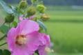 [フヨウ][アオイ科][芙蓉][ピンクの花][雨の日]フヨウ