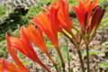[キツネノカミソリ][ヒガンバナ科][赤い花][晩夏]キツネノカミソリ