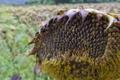 [ヒマワリ畑][ヒマワリ][向日葵][ヒマワリの種子][カワラヒワ]ヒマワリ畑
