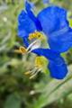 [ツユクサ][ツユクサ科][青い花]ツユクサ