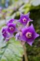 [イワタバコ][イワタバコ科][紫色の花]イワタバコ
