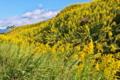 [セイタカアワダチソウ][キク科][帰化植物][工事現場][黄色い花]セイタカアワダチソウ