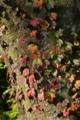 [ツタ][ブドウ科][蔦][蔦の葉][紅葉][赤い葉][ケヤキ]ツタ
