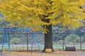 [銀杏][イチョウ][校庭][小学校][ブランコ][ローラー][黄葉]銀杏