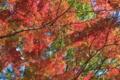 [モミジ][もみじ][紅葉][秋空][森の中]モミジ