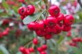 [トキワサンザシ][ピラカンサ][バラ科][赤い実][庭先]トキワサンザシ