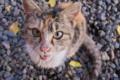 [猫][三毛猫][三毛ネコ][子ネコ][ネコ][ミケ]猫