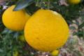 [柚子][ユズ][柑橘類][柚子湯][冬至]柚子