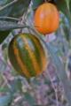 [カラスウリ][ウリ科][烏瓜][オレンジ色][朱色]カラスウリ