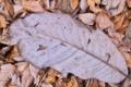 [ホオノキ][モクレン科][朴葉][落ち葉][朴の木]ホオノキ